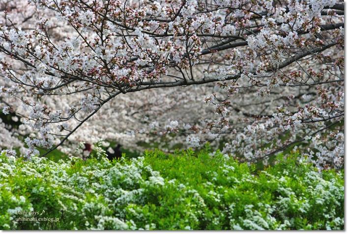 桜が咲いた~♪ 江川せせらぎ緑道2013_f0179404_6422780.jpg