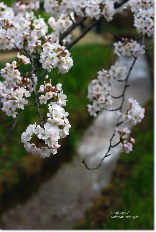 桜が咲いた~♪ 江川せせらぎ緑道2013_f0179404_6423586.jpg