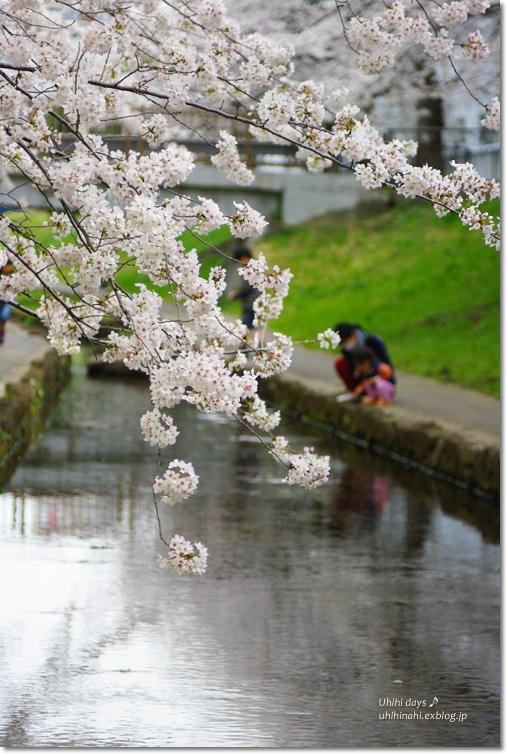 桜が咲いた~♪ 江川せせらぎ緑道2013_f0179404_6424629.jpg