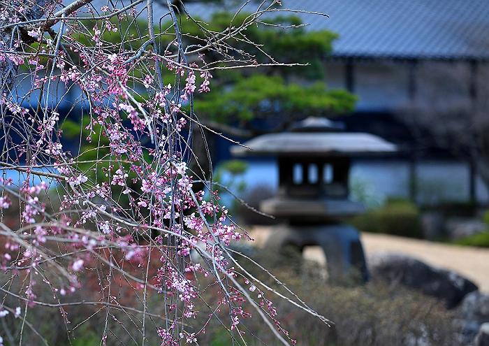 """弥勒の里 """"枝垂れ桜""""_a0140608_22295870.jpg"""