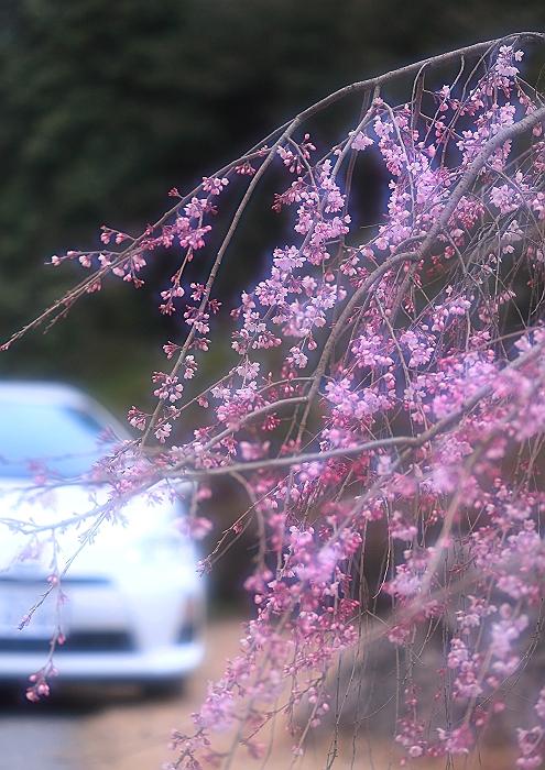 """弥勒の里 """"枝垂れ桜""""_a0140608_22303639.jpg"""