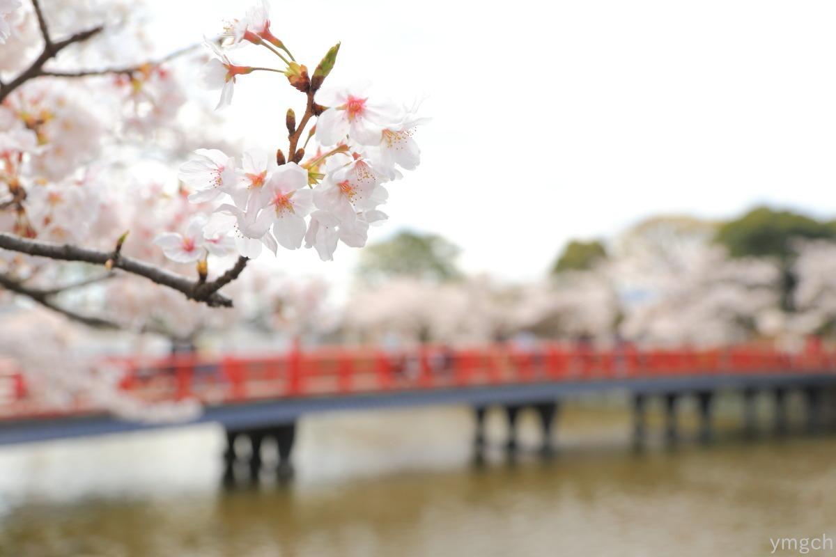 小田原城址の桜(1)_f0157812_2056323.jpg