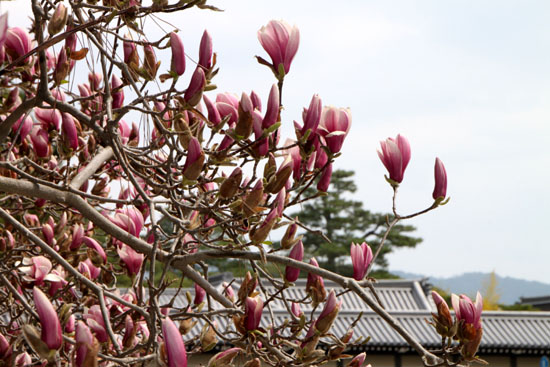 京都御苑 モクレン_e0048413_1834392.jpg