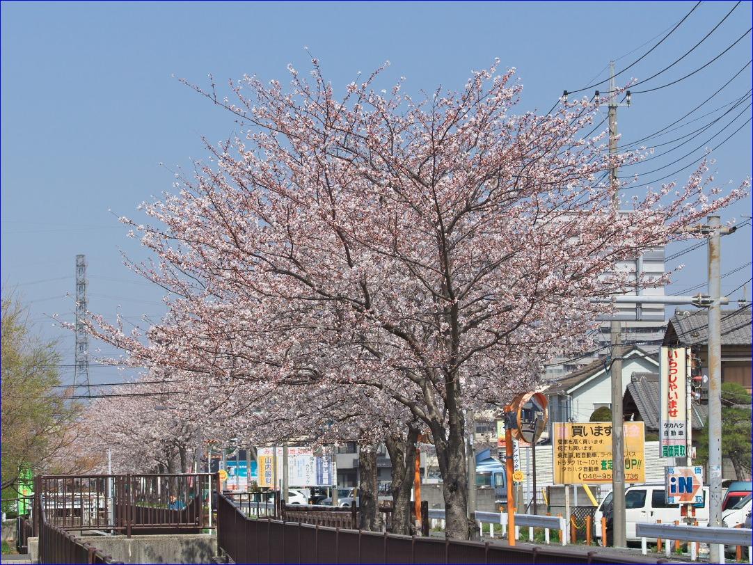 今日のTWK周辺の桜(7分咲きのソメイヨシノと昨日開花のヤマザクラ)_d0137627_234503.jpg