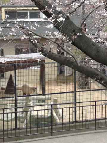 王子動物園 桜の開花状況(2013年3月24日)_f0138828_2351572.jpg