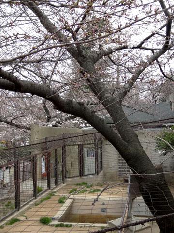 王子動物園 桜の開花状況(2013年3月24日)_f0138828_23534528.jpg