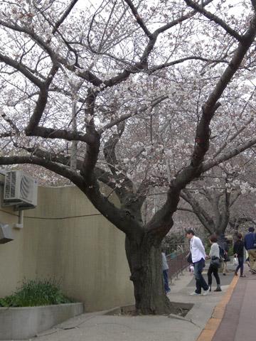 王子動物園 桜の開花状況(2013年3月24日)_f0138828_23543791.jpg