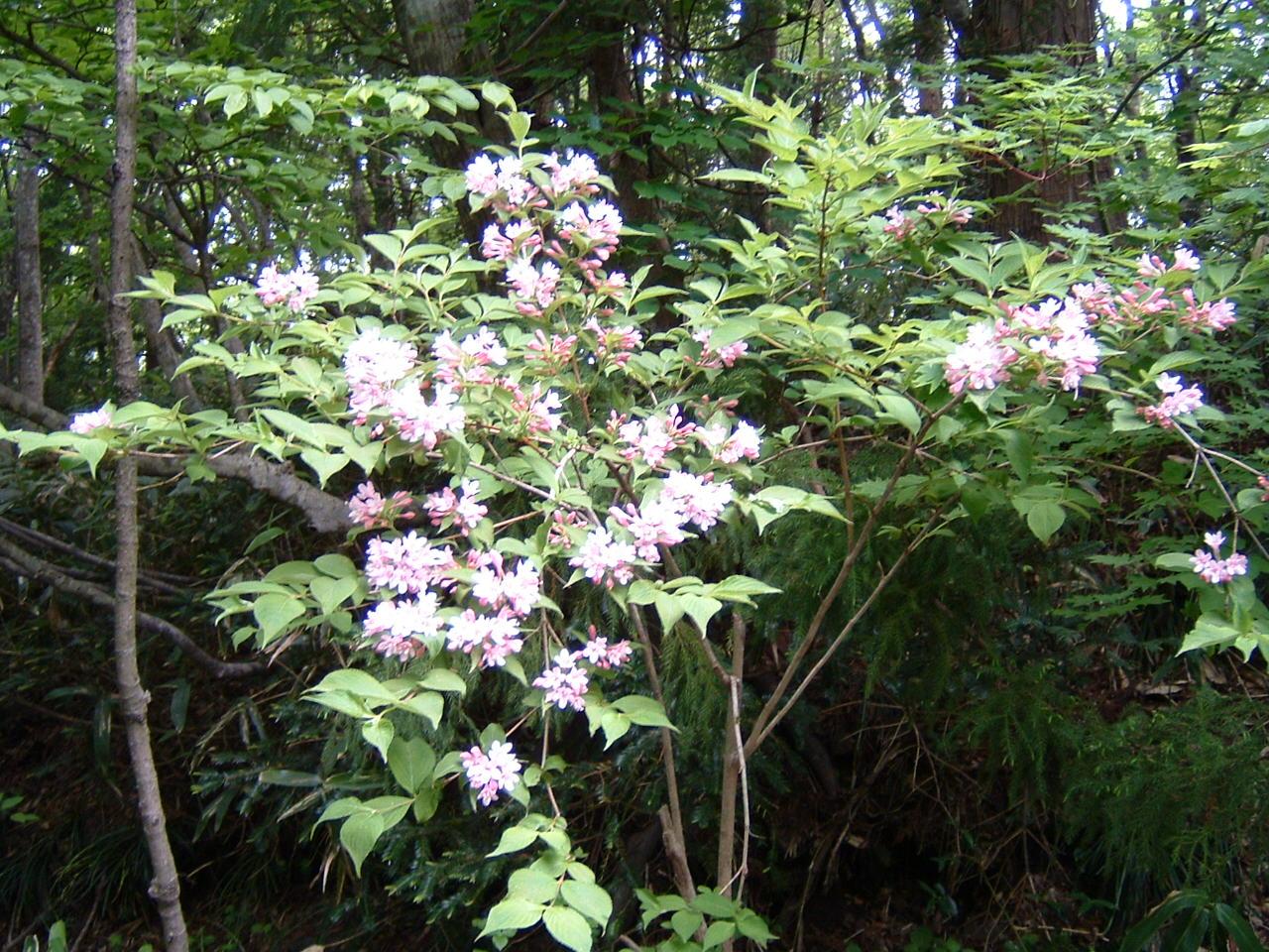 鳥取県大山寺周辺の植物   by (岡田)_c0239329_1445826.jpg