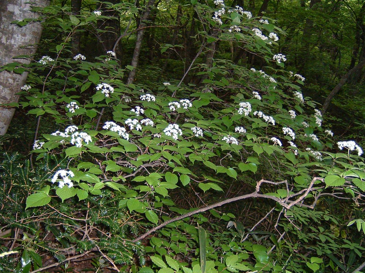 鳥取県大山寺周辺の植物   by (岡田)_c0239329_1451465.jpg