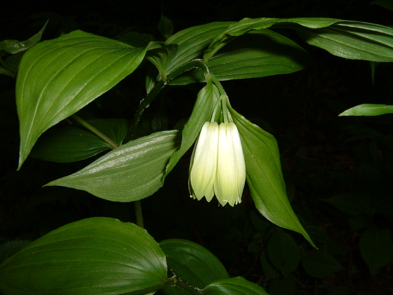 鳥取県大山寺周辺の植物   by (岡田)_c0239329_1453835.jpg