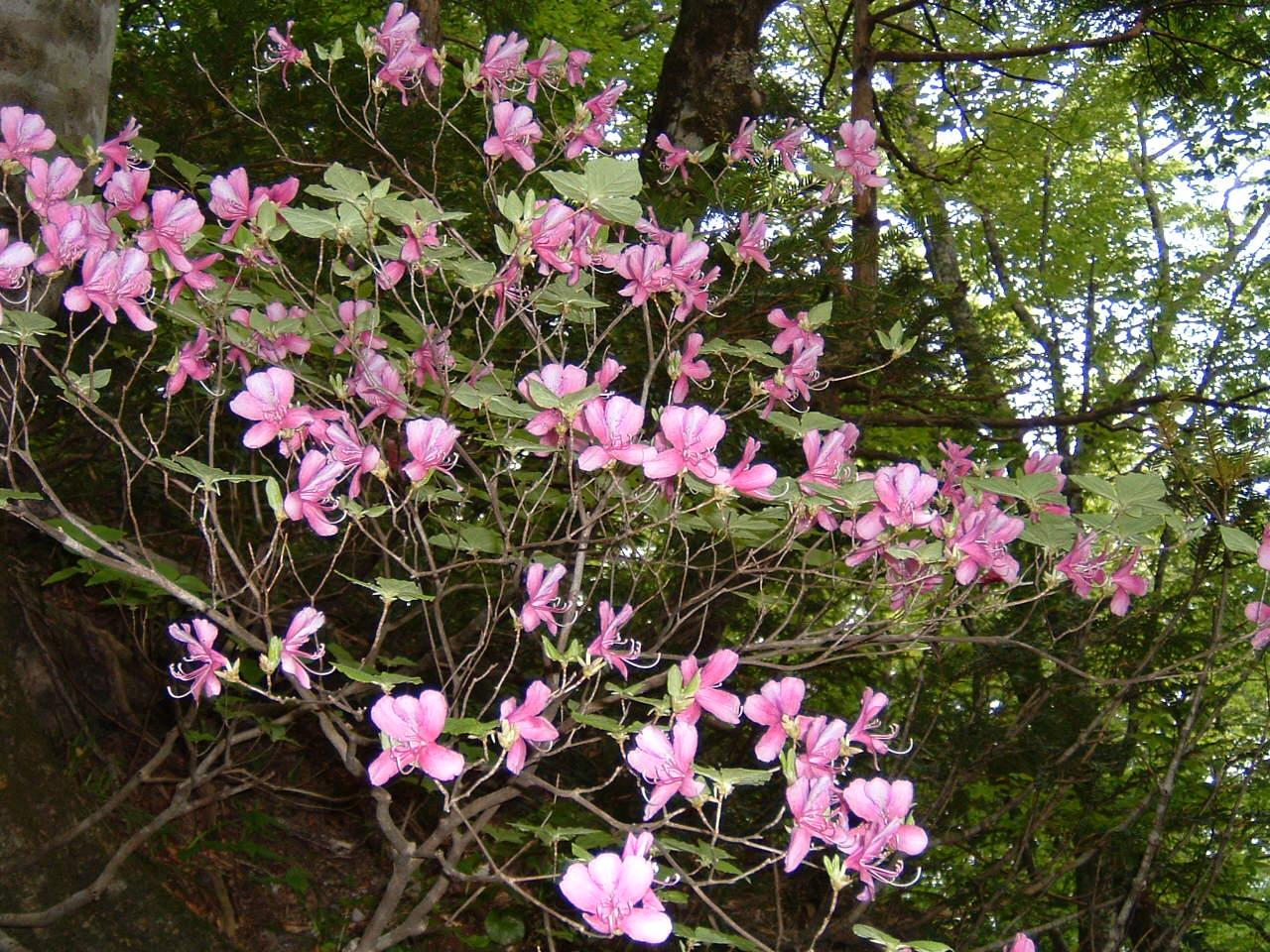 鳥取県大山寺周辺の植物   by (岡田)_c0239329_145556.jpg