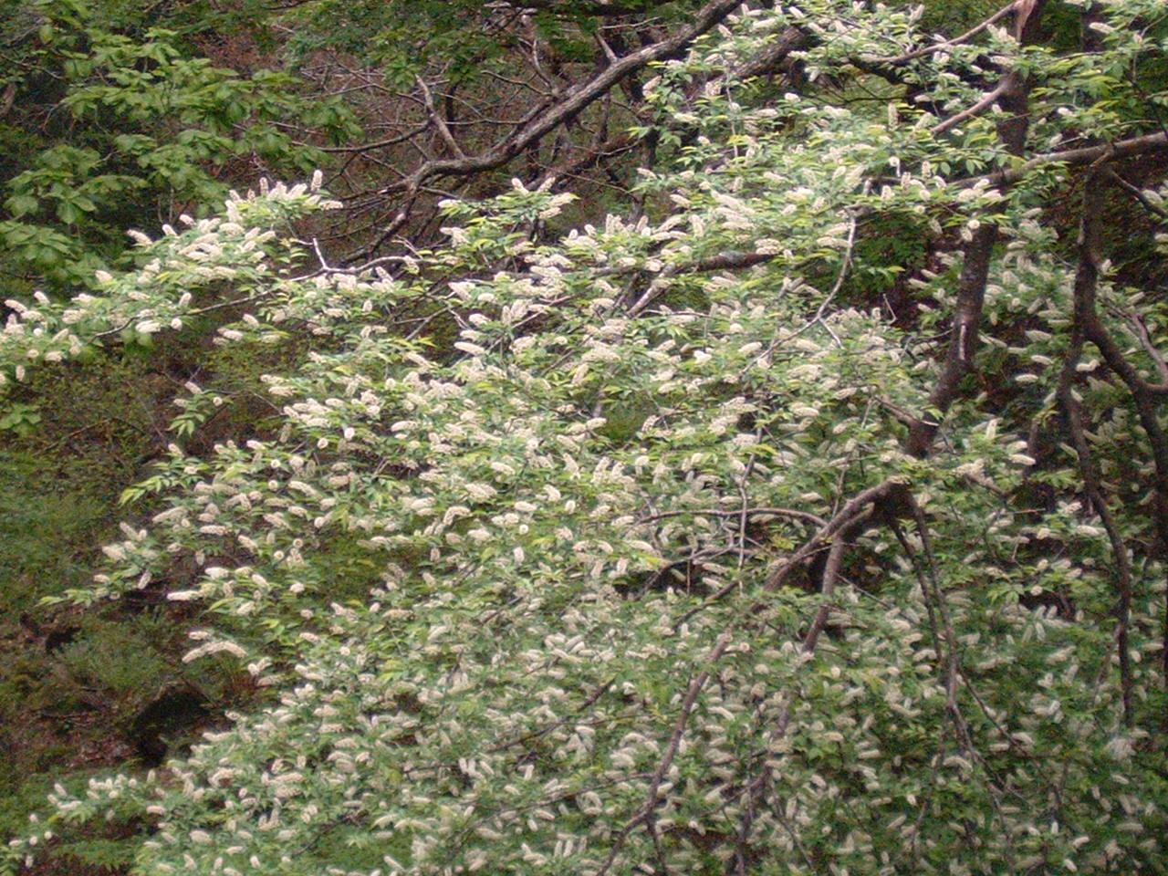鳥取県大山寺周辺の植物   by (岡田)_c0239329_146230.jpg