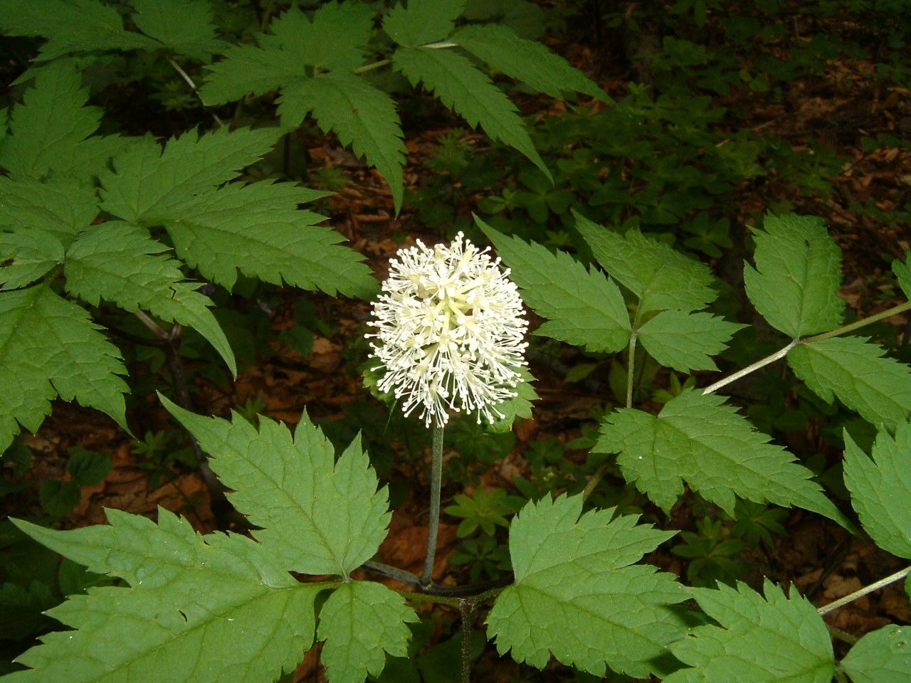 鳥取県大山寺周辺の植物   by (岡田)_c0239329_1464381.jpg