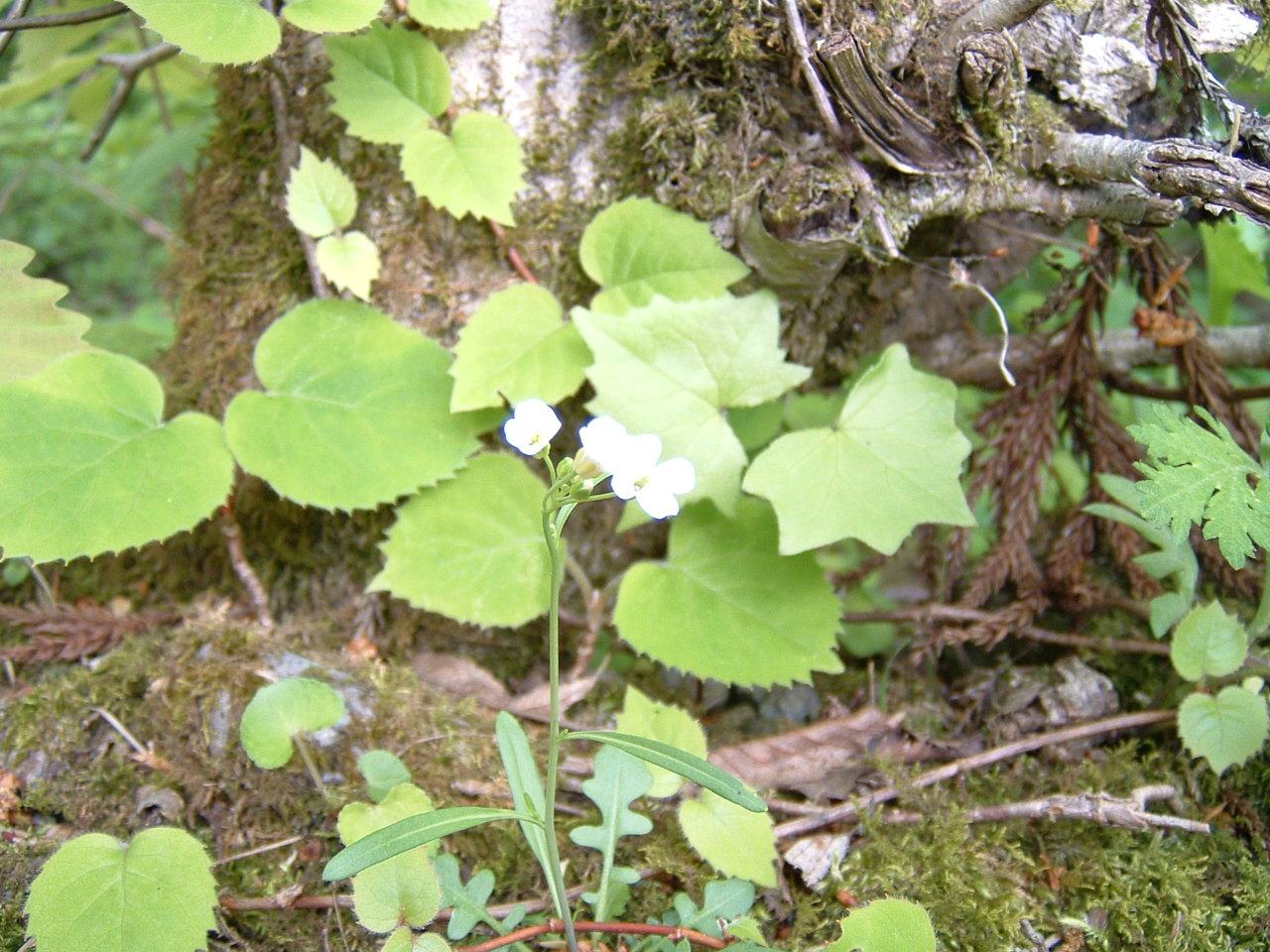 鳥取県大山寺周辺の植物   by (岡田)_c0239329_146955.jpg