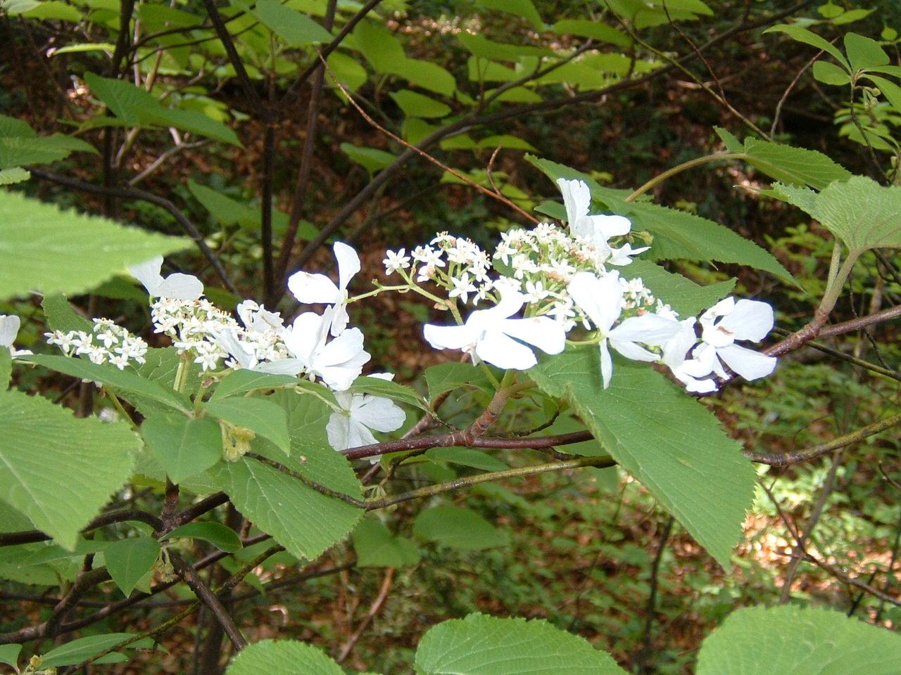 鳥取県大山寺周辺の植物   by (岡田)_c0239329_148633.jpg