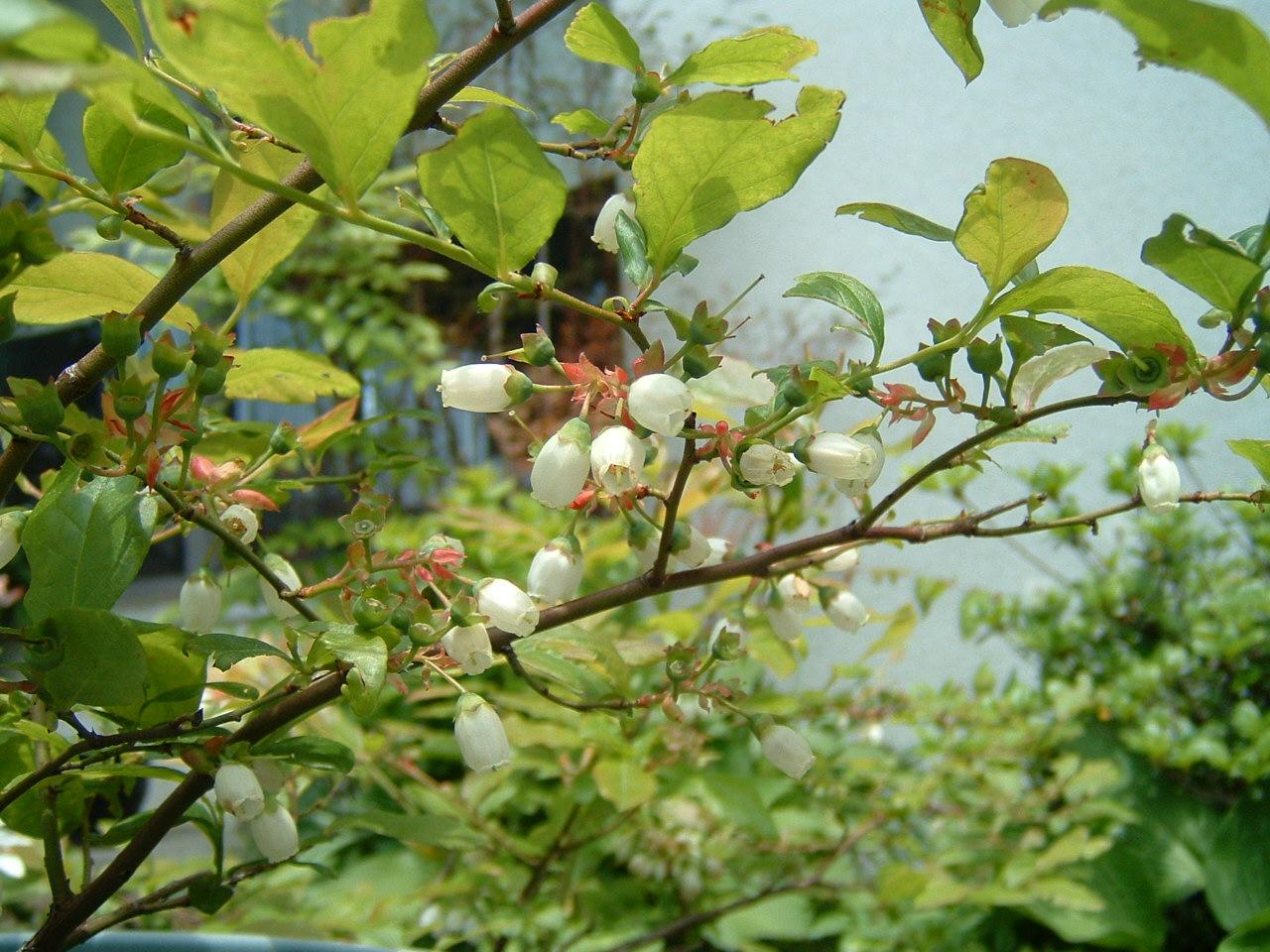 鳥取県大山寺周辺の植物   by (岡田)_c0239329_1491073.jpg