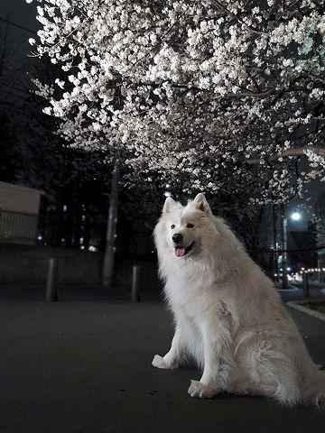 夜桜プチ宴会_c0062832_4562151.jpg