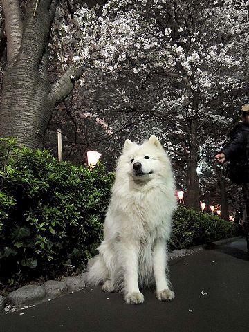 夜桜プチ宴会_c0062832_4563666.jpg