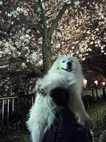 夜桜プチ宴会_c0062832_4565177.jpg