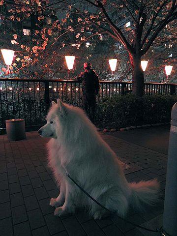 夜桜プチ宴会_c0062832_457390.jpg
