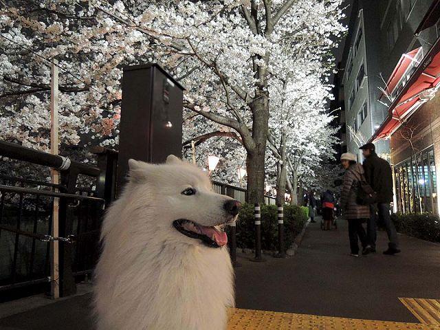 夜桜プチ宴会_c0062832_527866.jpg