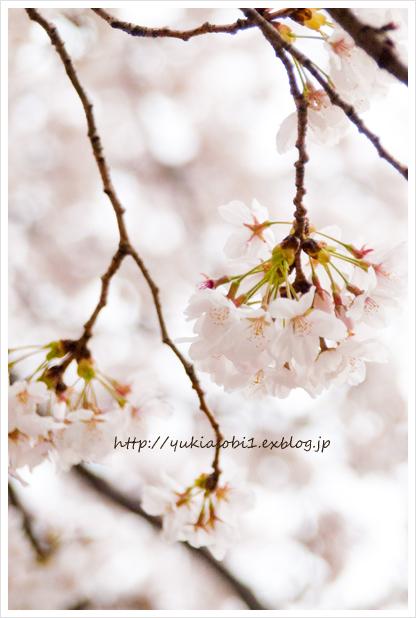桜の提灯_a0097151_22292923.jpg