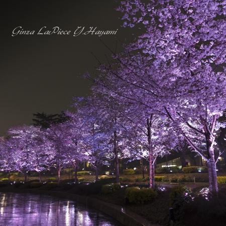 花のある風景 満開桜 六本木ミッドタウン さくら通りライトアップ_b0133053_0514977.jpg