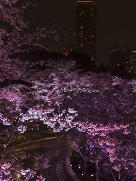 花のある風景 満開桜 六本木ミッドタウン さくら通りライトアップ_b0133053_0515126.jpg