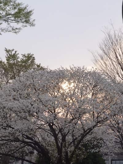 桜のちらし寿司_c0249163_1374145.jpg