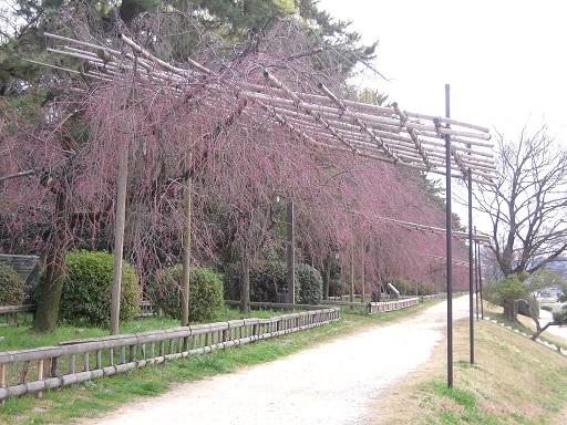 賀茂川の桜 2013年3月24日_a0164068_11115675.jpg