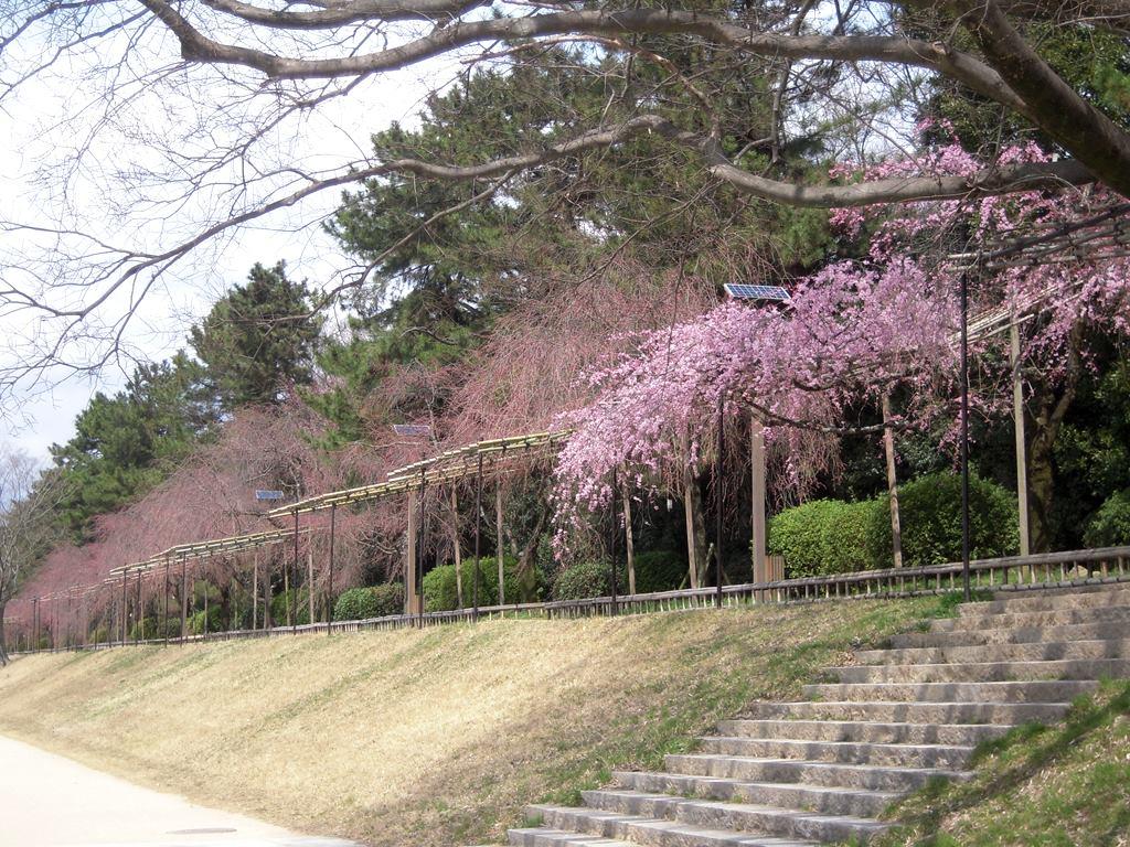 賀茂川の桜 2013年3月24日_a0164068_11123694.jpg