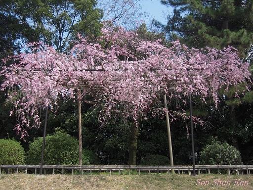 賀茂川の桜 2013年3月24日_a0164068_11125826.jpg