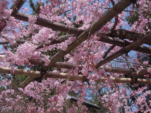 賀茂川の桜 2013年3月24日_a0164068_11132017.jpg