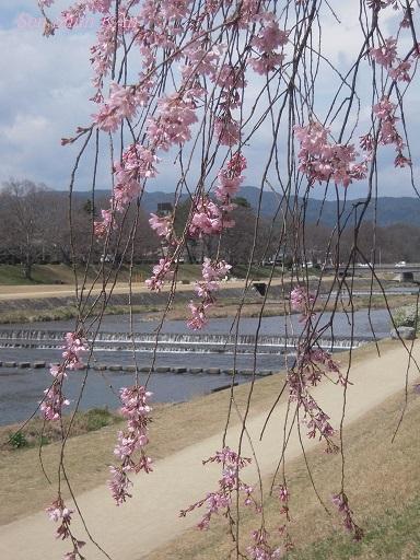 賀茂川の桜 2013年3月24日_a0164068_11133632.jpg