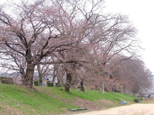賀茂川の桜 2013年3月24日_a0164068_1163978.jpg