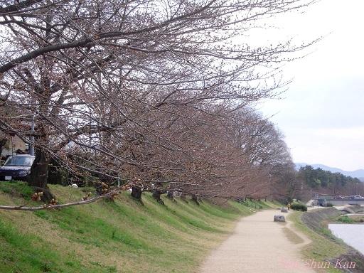 賀茂川の桜 2013年3月24日_a0164068_117196.jpg