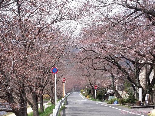 賀茂川の桜 2013年3月24日_a0164068_1172646.jpg