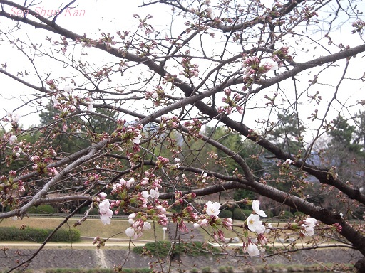 賀茂川の桜 2013年3月24日_a0164068_1185325.jpg