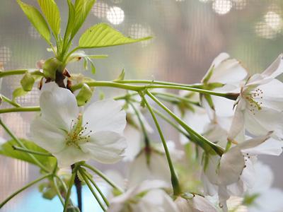大島桜も綺麗です!_e0097770_21522914.jpg