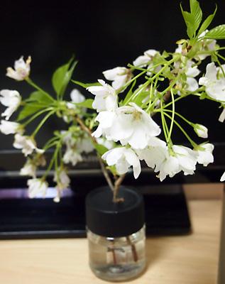 大島桜も綺麗です!_e0097770_21525431.jpg