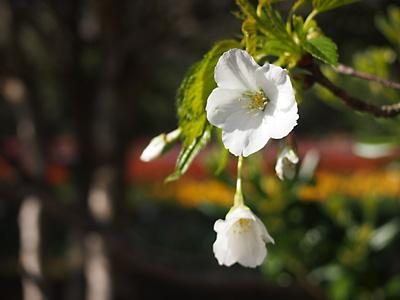 大島桜も綺麗です!_e0097770_21531330.jpg