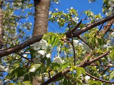 大島桜も綺麗です!_e0097770_21535120.jpg