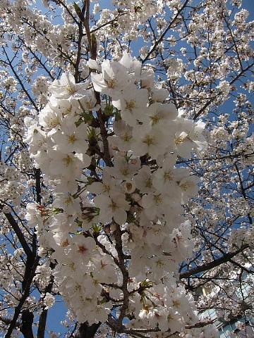 世の中は3日見ぬ間の桜かな。_b0141773_2217376.jpg