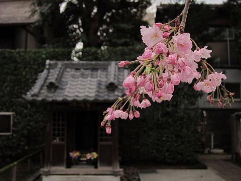 世の中は3日見ぬ間の桜かな。_b0141773_22242840.jpg