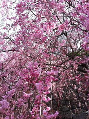 五朗と花見へ_e0130607_15403850.jpg
