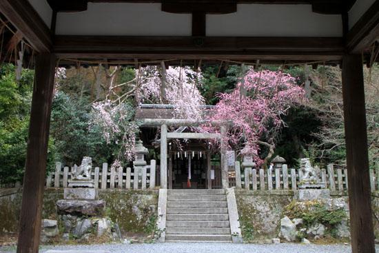盛りのしだれ3 大豊神社_e0048413_14362257.jpg