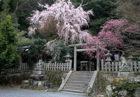 盛りのしだれ3 大豊神社_e0048413_14363282.jpg