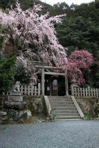 盛りのしだれ3 大豊神社_e0048413_14364410.jpg