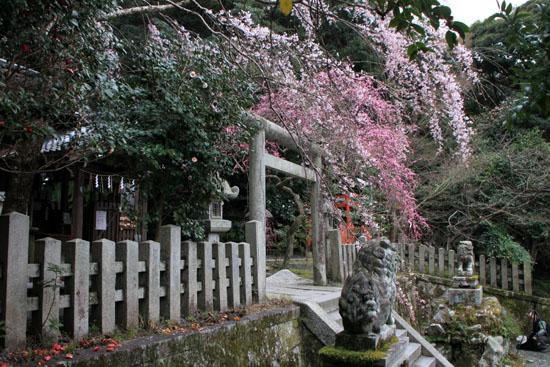 盛りのしだれ3 大豊神社_e0048413_14365382.jpg