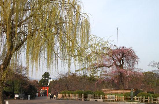 盛りのしだれ5 円山公園_e0048413_2133661.jpg